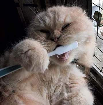 chat-brosse-a-dent