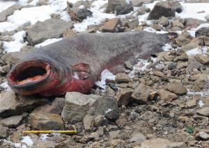 Le cadavre se révèle être un poisson de 2,20m