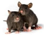 """""""J'ai été rongé par un rat dans mon lit d'hôpital"""""""
